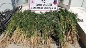 Zehir bitkisine damlama sulama