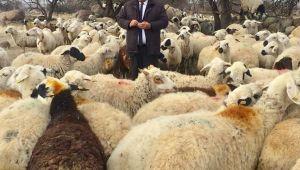Çiftçiye 300 koyun projesi hikaye çıktı..