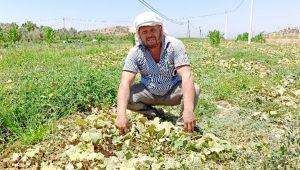 Salatalıkta ikinci ekim dönemi