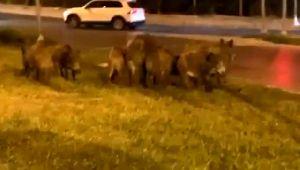 Kent merkezine inen domuz sürüsünü vatandaşlar görüntüledi