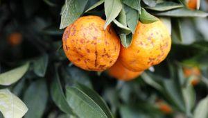 Seferihisar'da tonlarca mandalinayı sağanak vurdu, mantar hastalığı oluştu