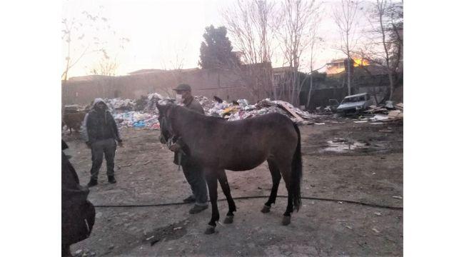 Atları kesilmekten zabıta kurtardı