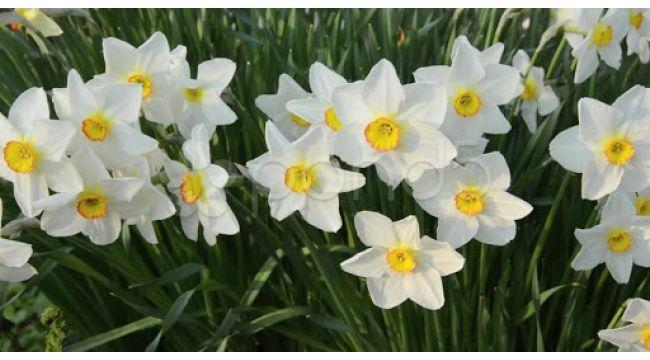 Karaburun Yarımadası'nda yetiştirilen nergis çiçeği rağbet görüyor