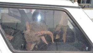 Çaldıkları 2 koyunu taşımak için 2 otomobil çaldılar