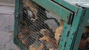Kafes ve kutuda bulunan 30 sincabın sahibine 29 bin 662 lira ceza